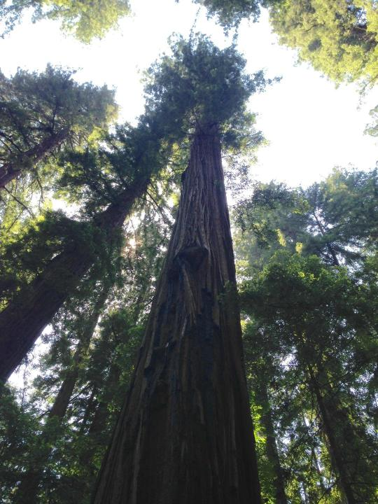 coastal redwood 2